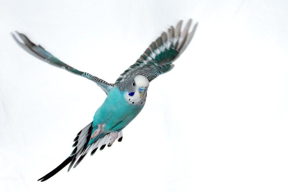 Волнистый попугай летает картинки